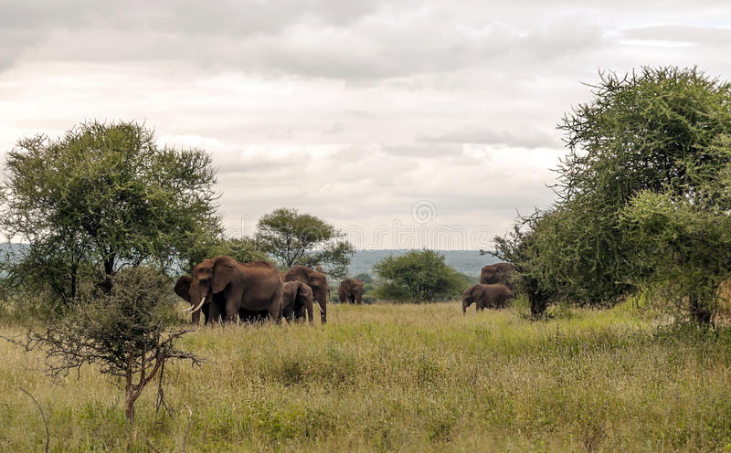 Elephants walking royalty free stock images