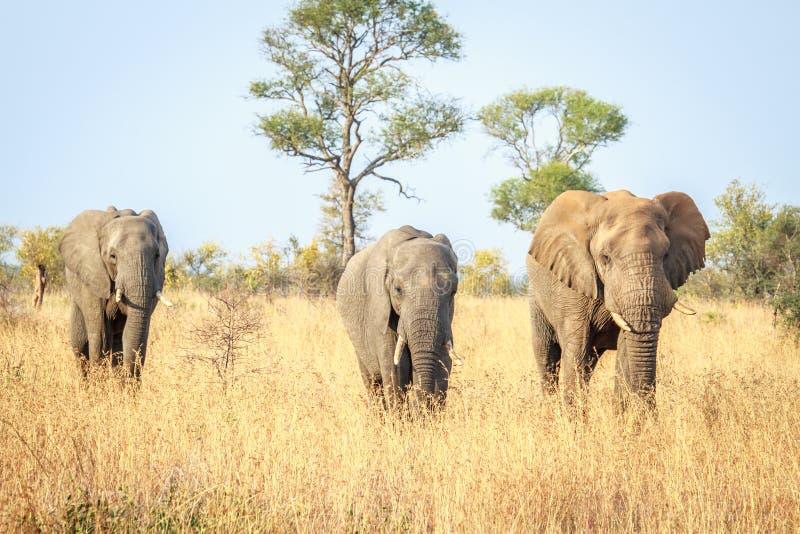 Download Elephants Walking Towards The Camera. Stock Photo - Image: 83721692