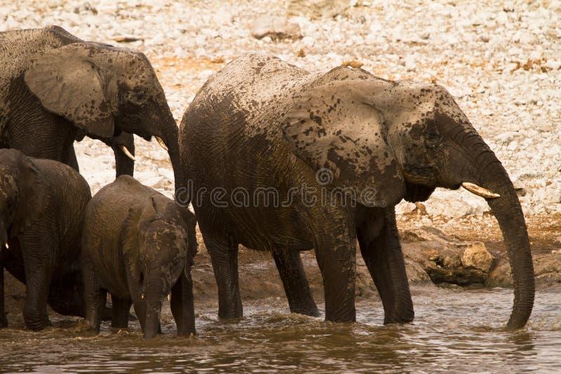 Elephants in water stock photo