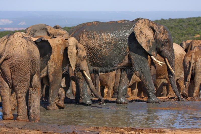 Download Elephants at a waterhole stock image. Image of calf, elephant - 9223971