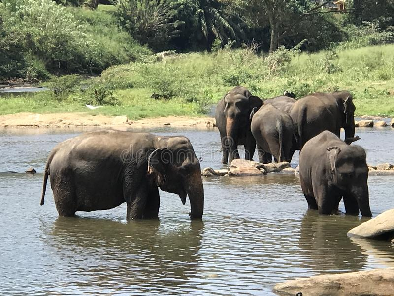 Elephants in the wild stock image