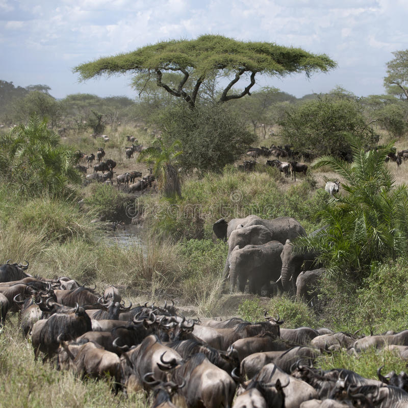 Download Elephants And Wildebeest Stock Photo - Image: 21061520