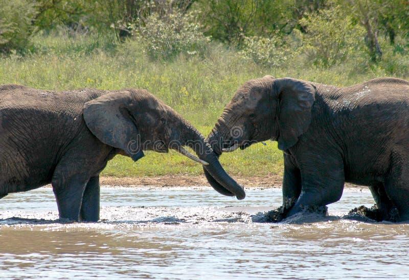 Download Elephants wrestling stock image. Image of bulls, park - 11254065