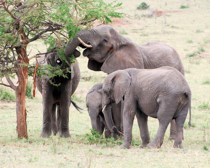 Elephants with young eating acacia tree grass. African elephants with young eating to acacia tree and fresh green grass, Serengeti National Park, Tanzania royalty free stock photos