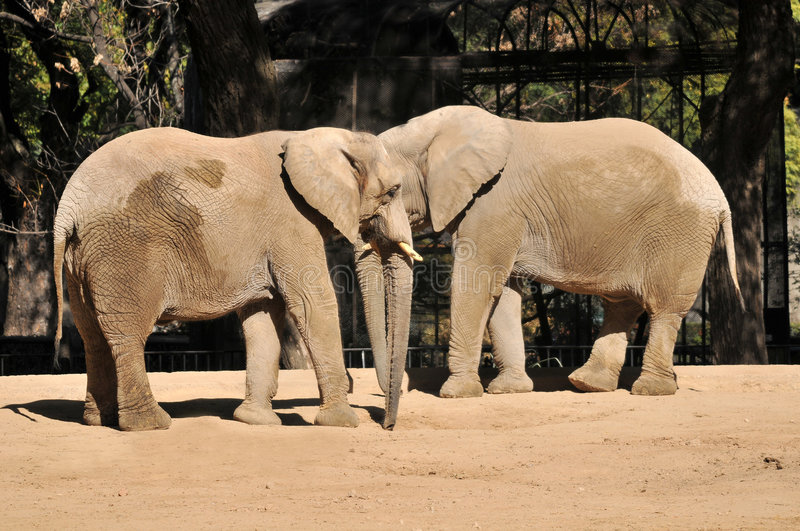 Elephants in a zoo. Photo of an old wrinkled elephants in the zoo of Buenos aires stock photography