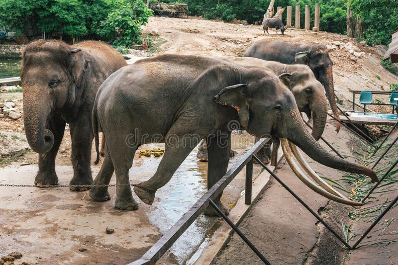 Elephants in the zoo. Of Thailand royalty free stock image