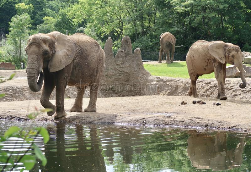 Elephants at the Zoo stock image