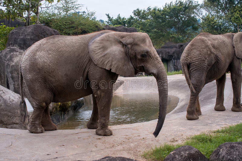 Elephants in the zoo in taipei. Elephants in the zoo of Taipei, Taiwan royalty free stock photography