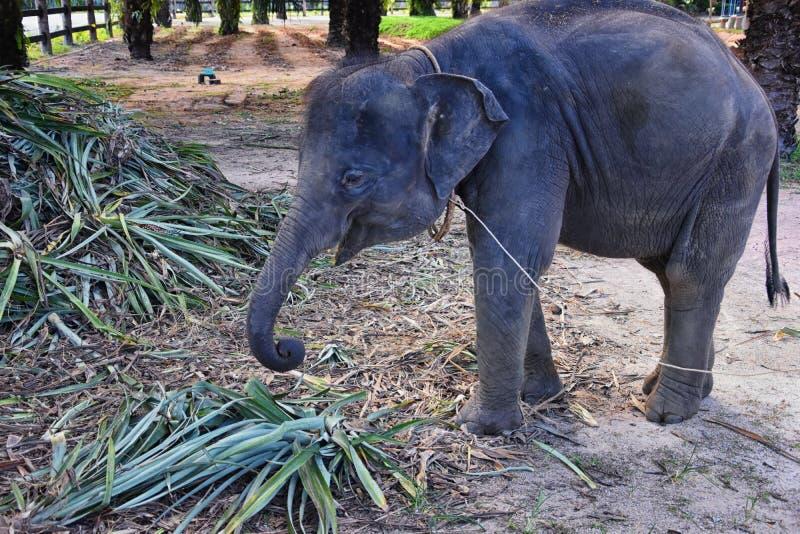 Elephas maximus, gerrettet, Heilung wieder in die Wildnis eingeführt, Nahaufnahme in den geschützten Park, Herbivorous und stockfoto