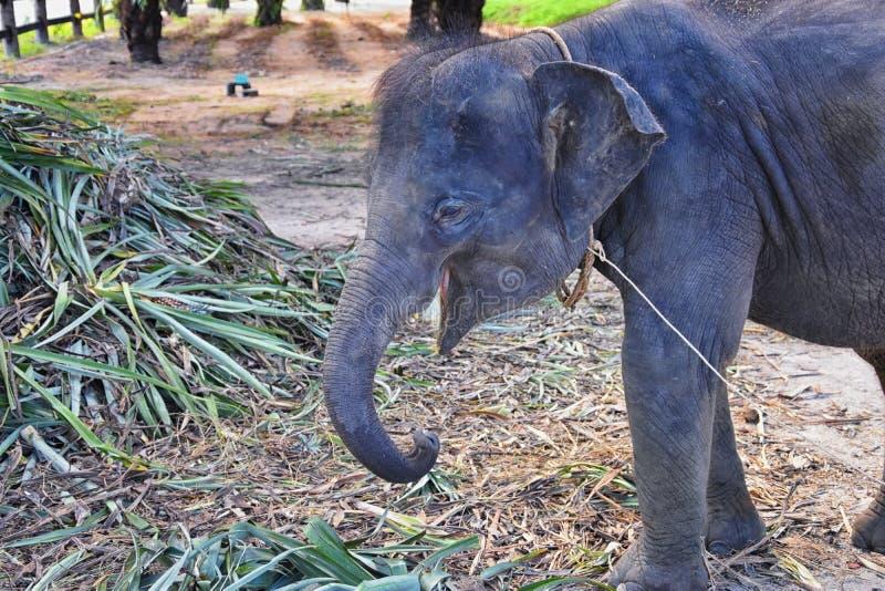 Elephas maximus, gerrettet, Heilung wieder in die Wildnis eingeführt, Nahaufnahme in den geschützten Park, Herbivorous und lizenzfreie stockfotografie