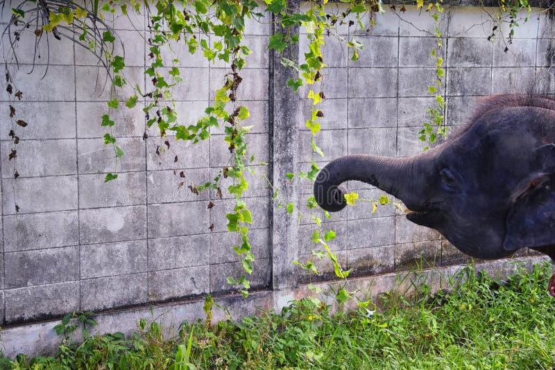 Elephas maximus, gerrettet, Heilung wieder in die Wildnis eingeführt, Nahaufnahme in den geschützten Park, Herbivorous und stockbilder