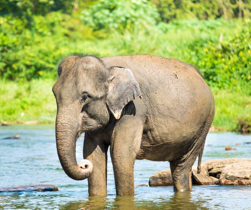 Elephatnt 免版税库存图片