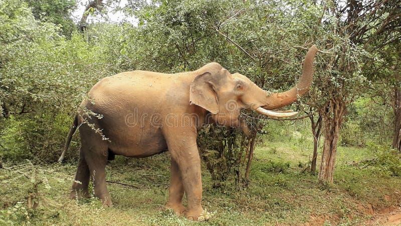 elephatnt sauvage image stock
