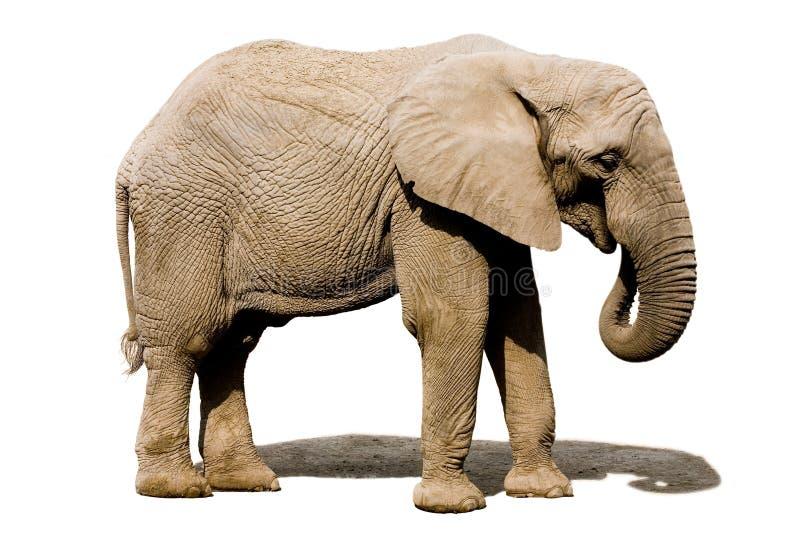 Eleplant äta arkivfoto