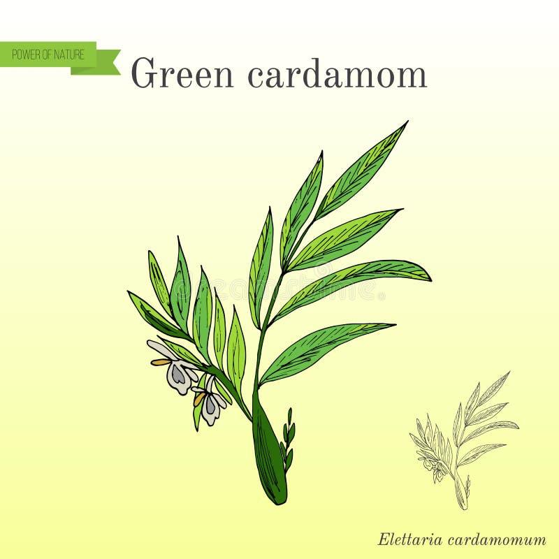 Elettaria cardamomum verde o vero della pianta aromatica del cardamomo royalty illustrazione gratis