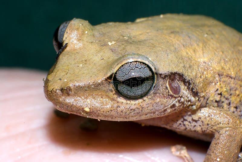 Eleutherodactyluscoqui, gemeenschappelijke coquí van Puerto Rico stock afbeeldingen