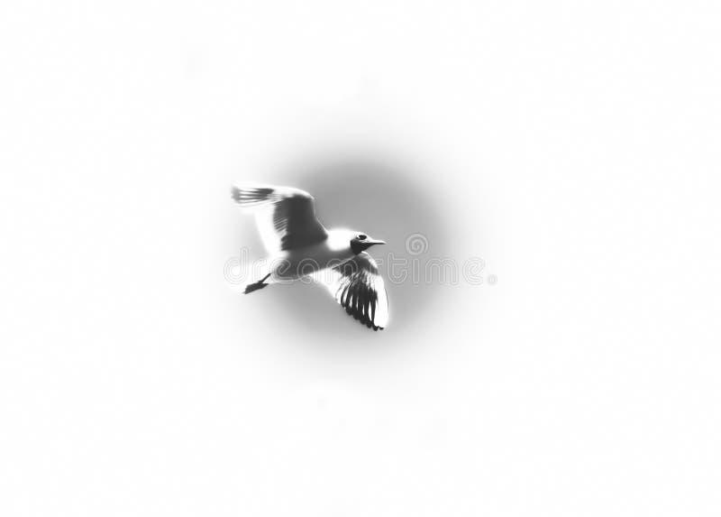 Elevação do voo da gaivota de White River no céu foto de stock royalty free