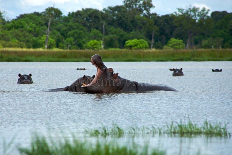 Elevação dos hipopótamos fotografia de stock