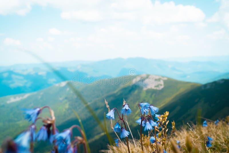 Elevação roxa brilhante e bonita da flor nas montanhas imagem de stock royalty free