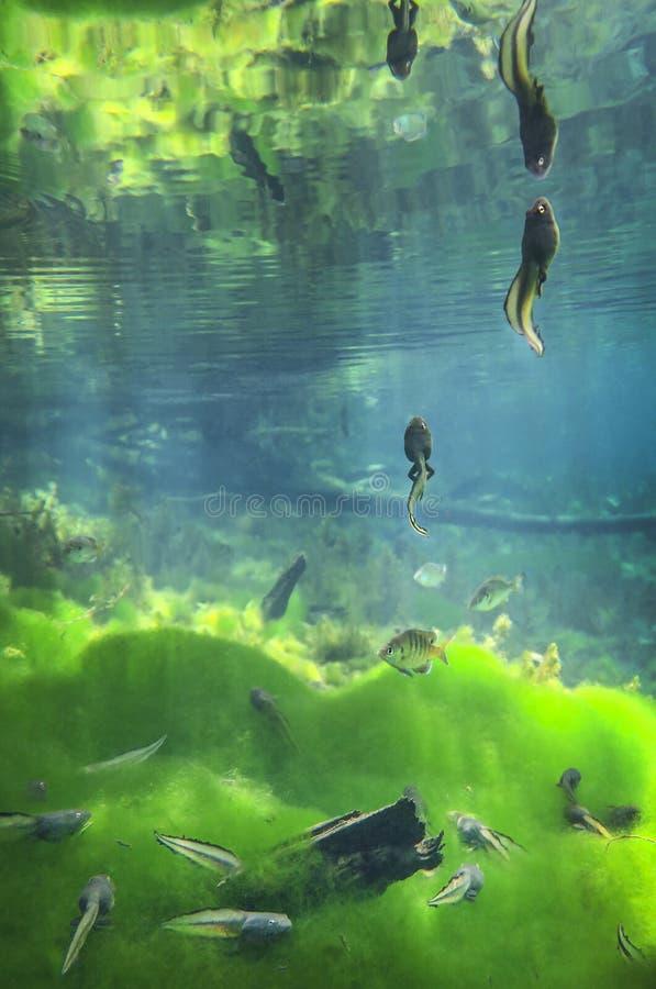 Elevador do girino - Sylvan Springs fotografia de stock royalty free