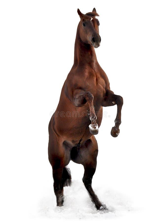 Elevando o cavalo do garanhão imagem de stock royalty free