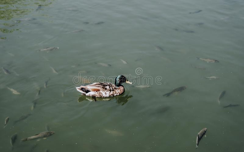 elevated view of duck and flock of fishes swimming stock photos