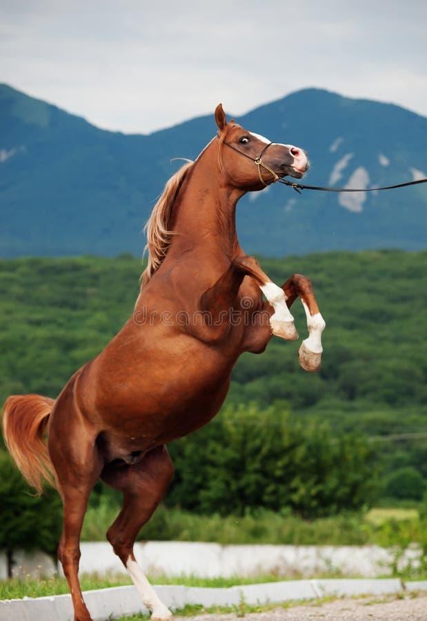 Elevazione araba dello stallone della castagna fotografia stock libera da diritti