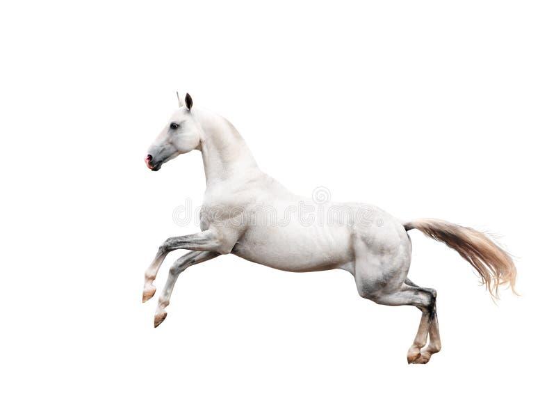 Elevazione bianca del cavallo del akhal-teke isolata sul nero fotografia stock libera da diritti
