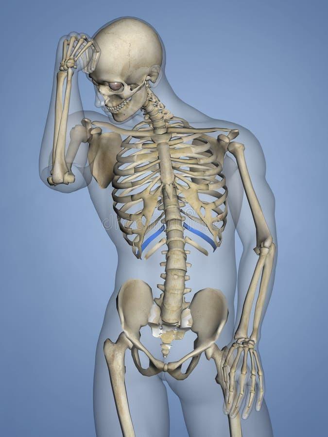 Eleventh Rib, Rib Cage, 3D Model. Eleventh Rib, Rib Cage, Human Skeleton, Blue Background, 3D Model vector illustration