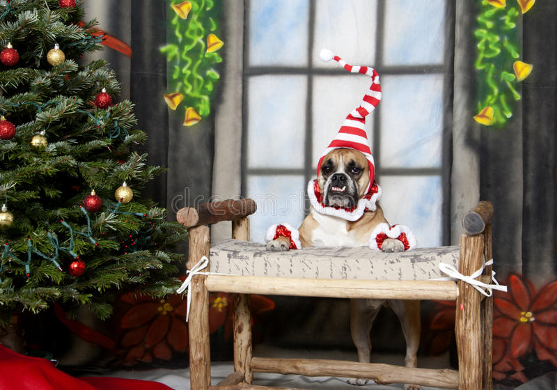 Elf Bulldog on a bench. English Bulldog posing by the Christmas Tree dressed up as an elf on a bench royalty free stock photo