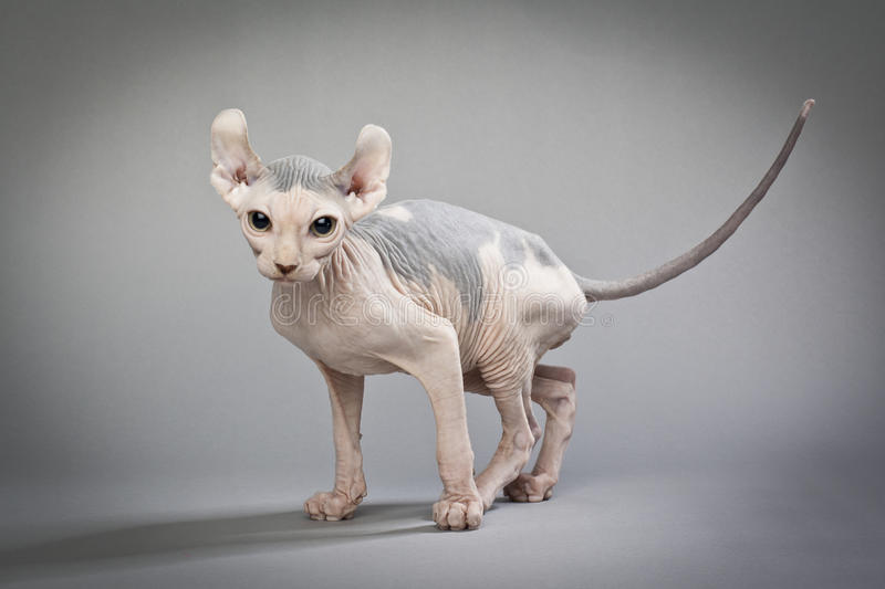 Elf cat with colors. An elf cat with grey patches of skin Elf Cat and Sphynx Breeders : HOUSE OF Q www.elfcatsincanada.com stock photos