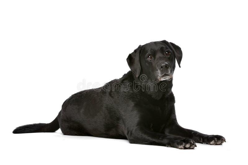 Elf jaar van oud zwart Labrador stock afbeeldingen