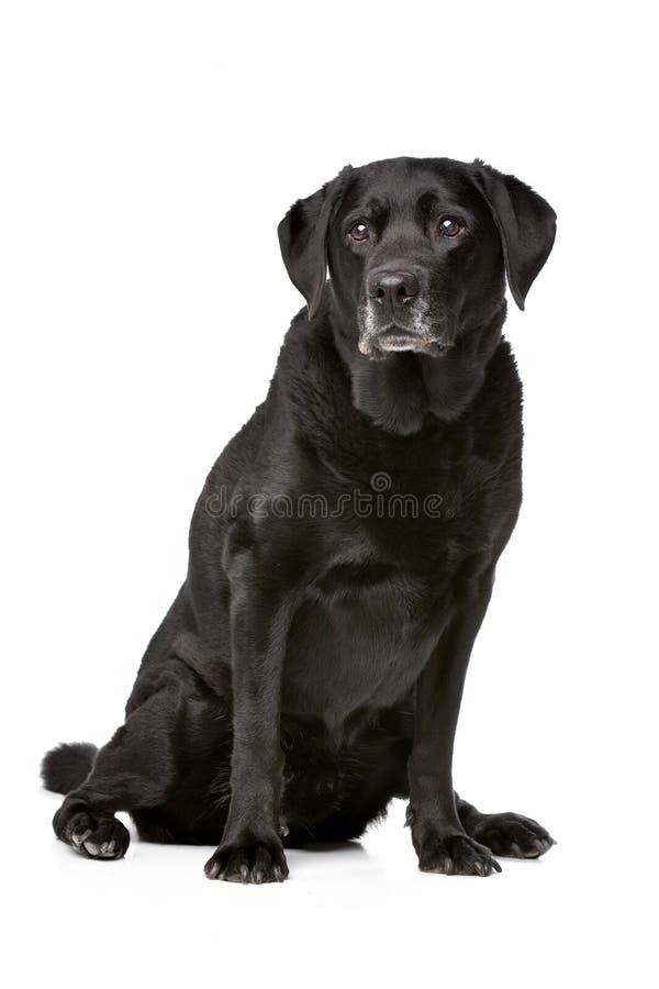 Elf jaar van oud zwart Labrador stock fotografie