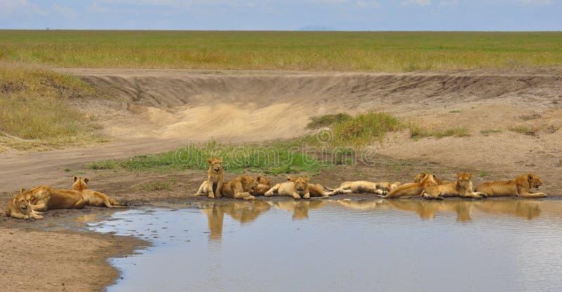 Elf Löwejunge Serengeti im Nationalpark lizenzfreie stockfotografie