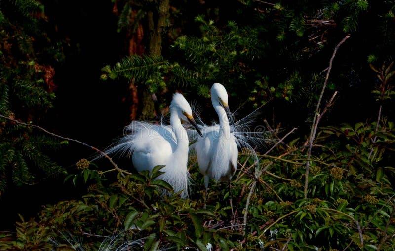 Elf-like dancer - Egret bird dance--4 stock photo