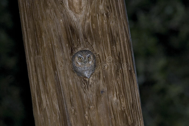 Elf Owl, Micrathene whitneyi, nesting in a post. An Elf Owl, Micrathene whitneyi, nesting in a post stock photography