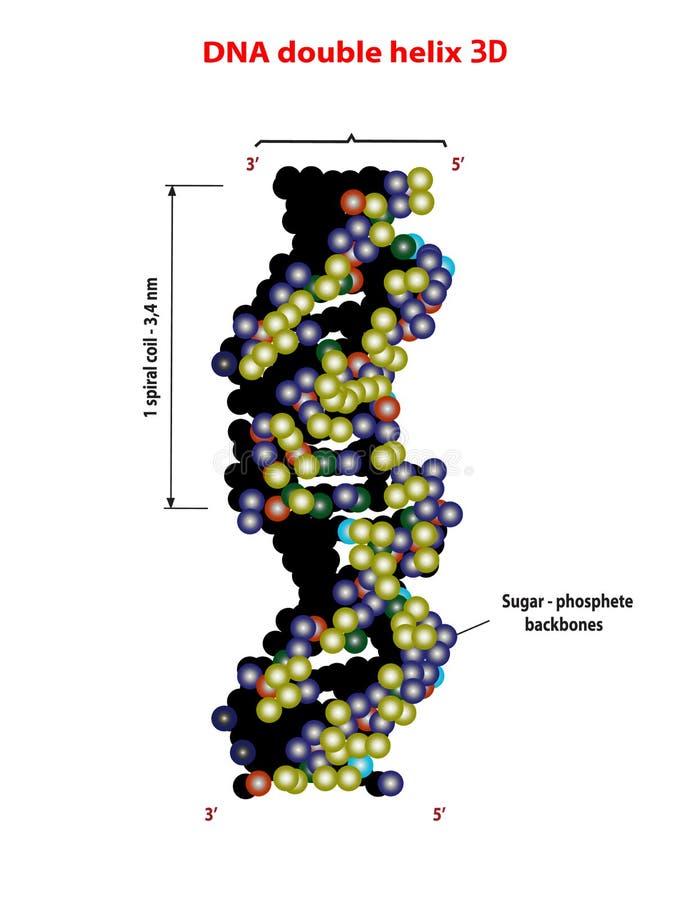 elica della struttura del DNA 3D doppia su fondo bianco Nucleotide, fosfato, zucchero e basi Grafico di informazioni di istruzion illustrazione vettoriale
