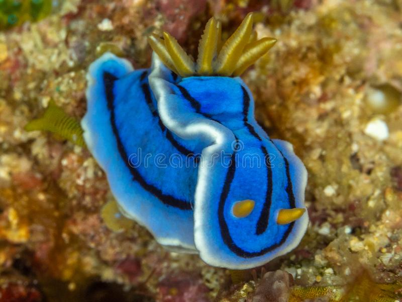 Elisabeth?s Chromodoris, elisabethina di Chromodoris, nudibranch Sulawesi del nord fotografie stock libere da diritti
