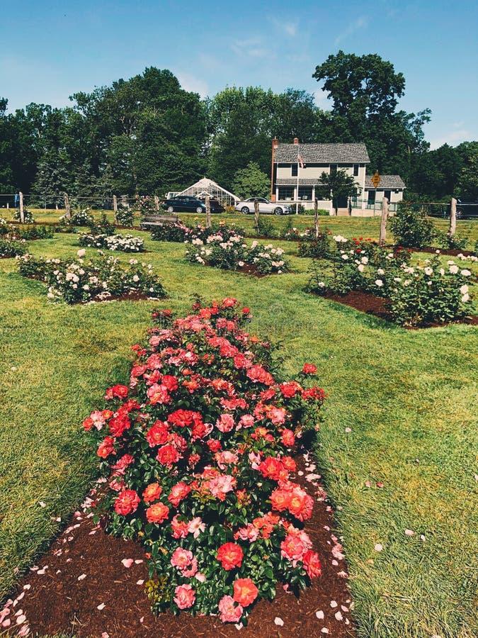 Elizabeth Park rose garden royalty free stock photos
