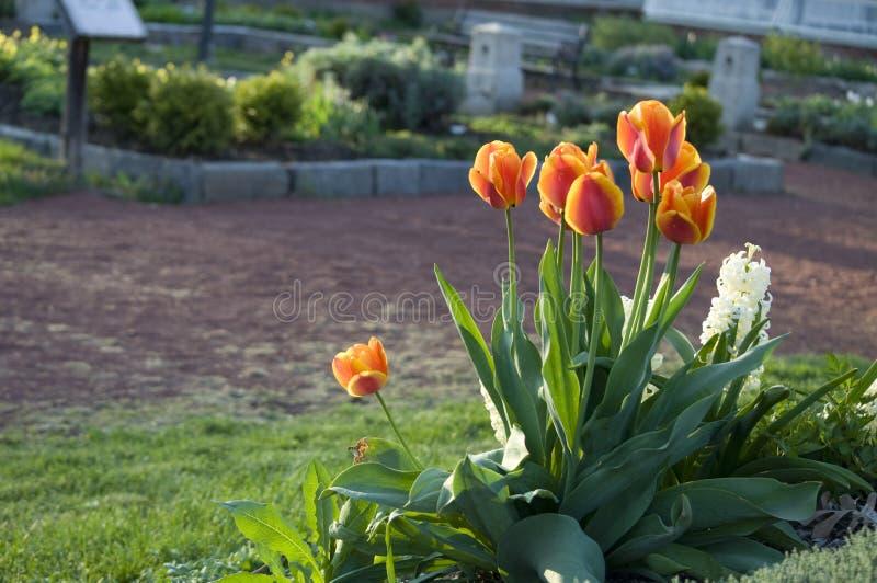 Elizabeth Park Seven - orange tulpan royaltyfria foton