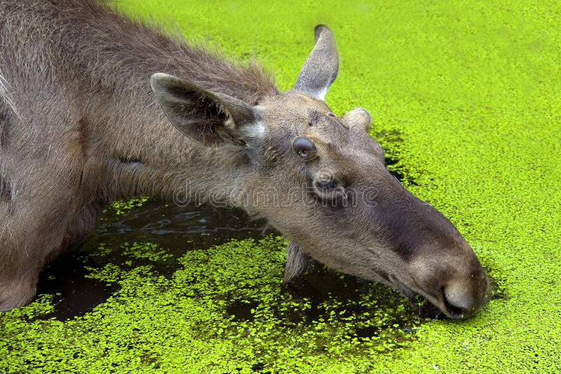 Elk 1 Royalty Free Stock Image