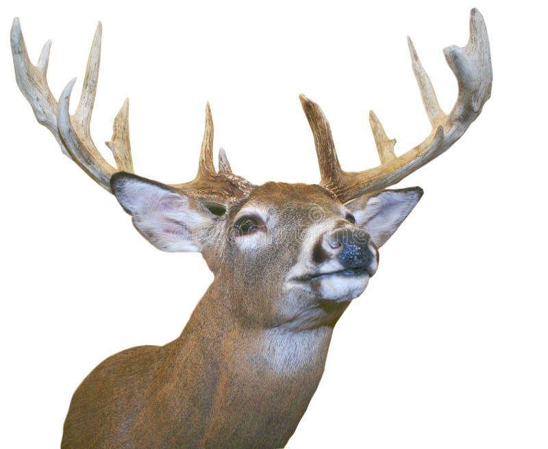 Elk. stock images