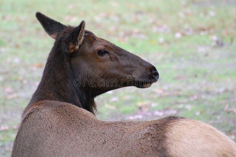 Download Elk stock photo. Image of mammal, ungulate, toed, migratory - 21673650