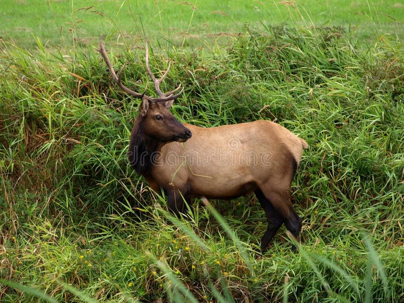 ELK. Picture of Elk taken at Dean Creek Elk Reserve in Oregon royalty free stock photos