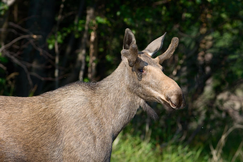 Download Elk (Alces alces). stock image. Image of look, alces - 22272917