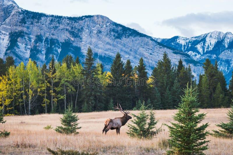 Elk in autumn, Banff National Park stock photo