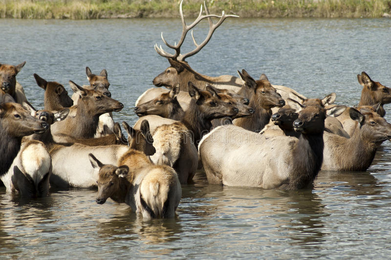 Elk bath time stock photography