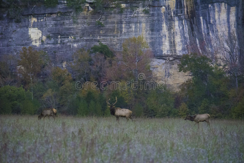 Elk Bull and Two Cows. In front of Roark Bluff on the Buffalo National River stock photos