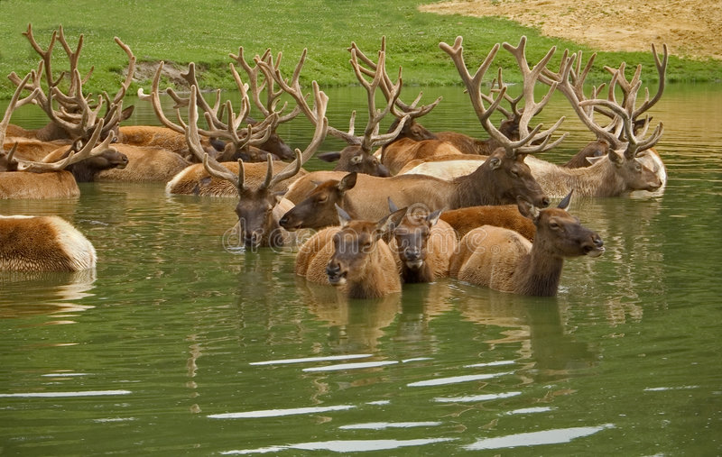 Download Elk Chilling stock image. Image of cool, herd, water, park - 183579