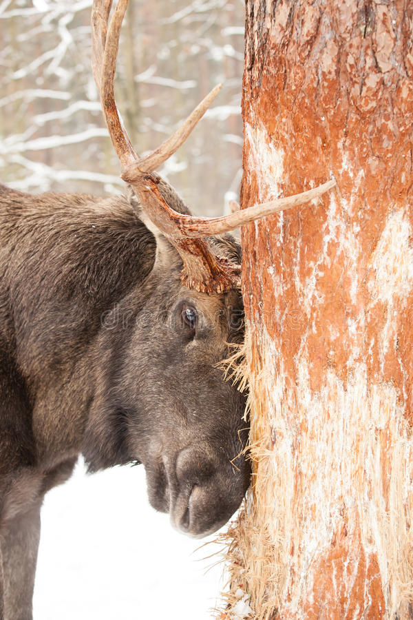 Elk damage stock photos